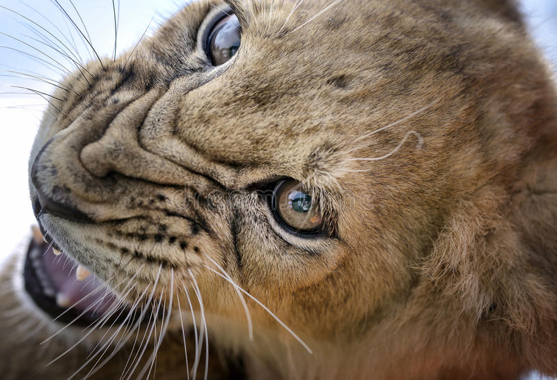 Growl - Lion Cub Stock Image