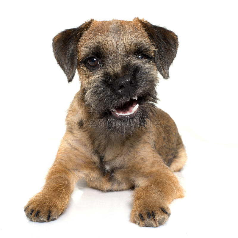 Growling border terrier stock photography