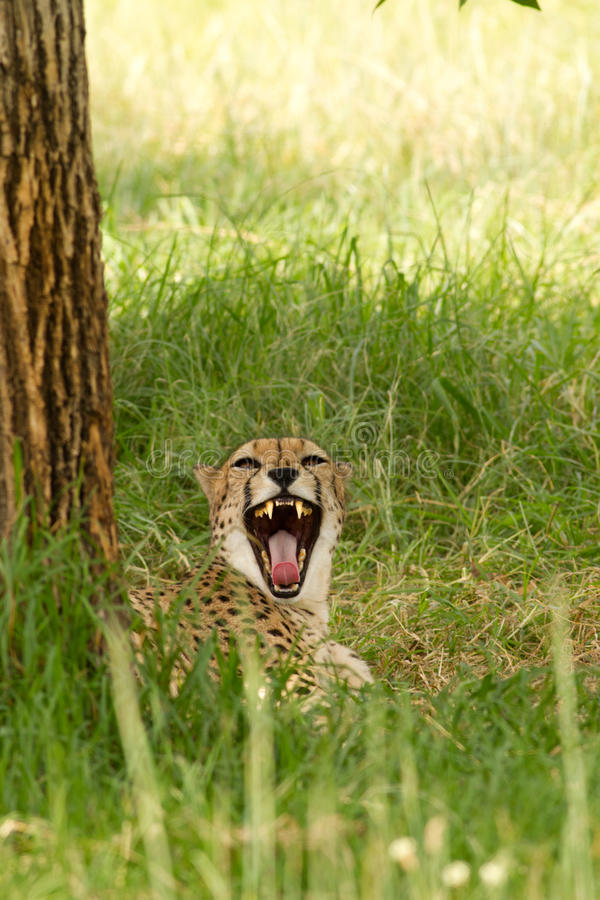 Growling cheetah royalty free stock photos