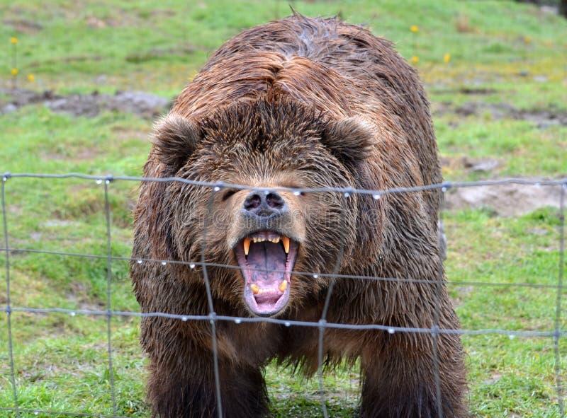 Growling Kodiak Bear. Kodiak Bear Growling behind a fence stock photos