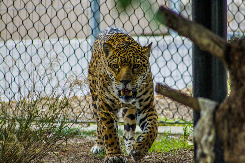 Growling Leopard Inside Enclosure royalty free stock image