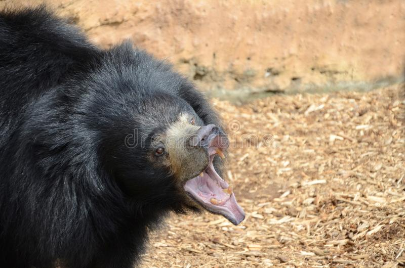 Growling Sloth Bear Stock Photography