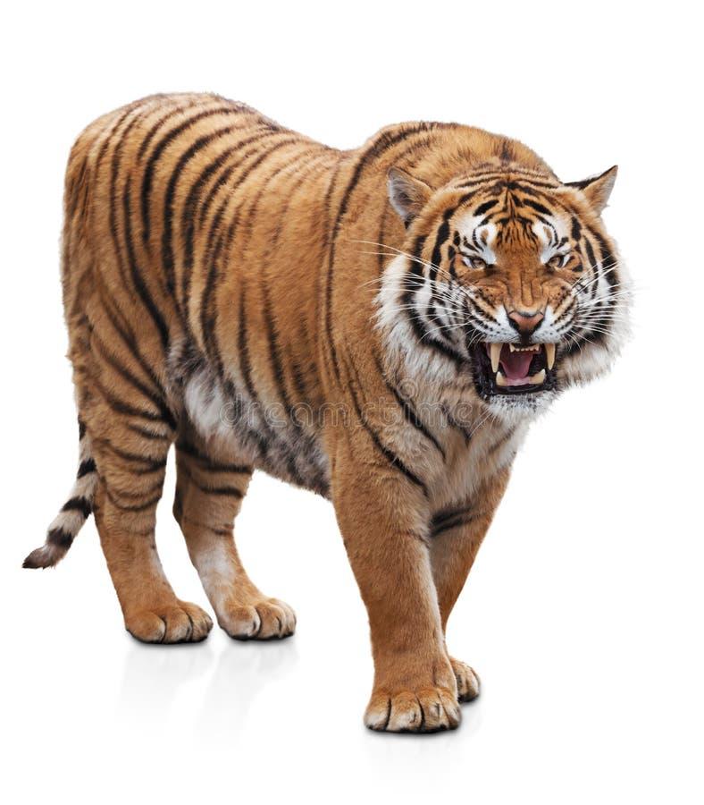 Furious tiger stock image