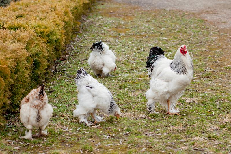 Grown healthy white hens on green grass outside in rural yard on old wooden barn wall background spring on bright sunny day. Chicken farming, healthy meat and stock photos