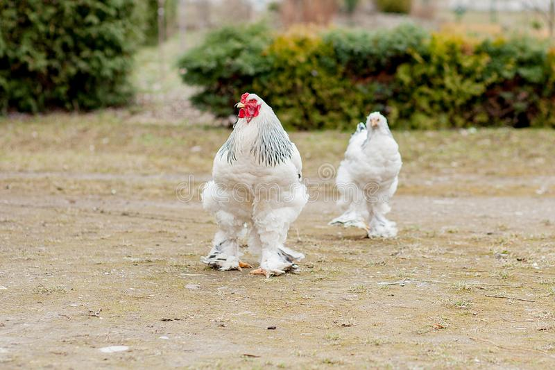 Grown healthy white hens on green grass outside in rural yard on old wooden barn wall background spring on bright sunny day. Chicken farming, healthy meat and royalty free stock photography