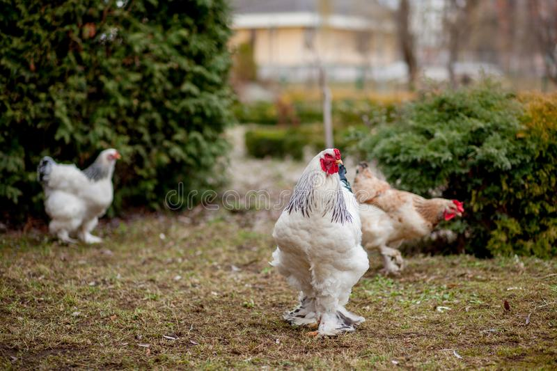 Grown healthy white hens on green grass outside in rural yard on old wooden barn wall background spring on bright sunny day. Chicken farming, healthy meat and stock photography
