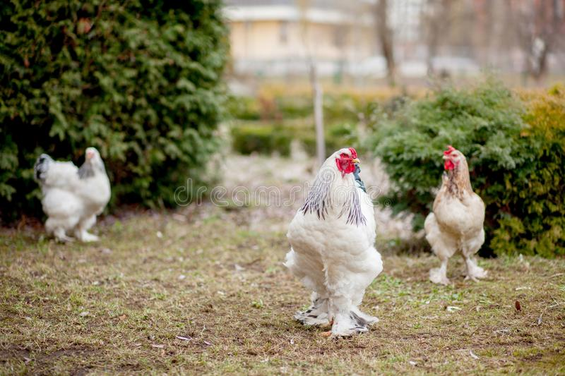 Grown healthy white hens on green grass outside in rural yard on old wooden barn wall background spring on bright sunny day. Chicken farming, healthy meat and royalty free stock photo