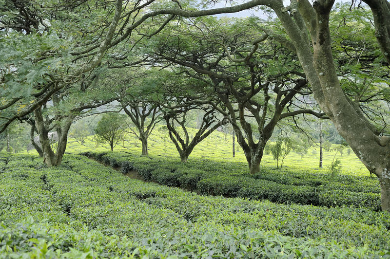 Grown shade trees of tea plantations royalty free stock photo