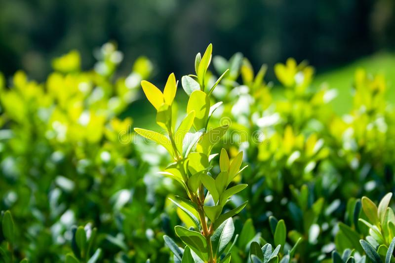 Grown tender twigs of a green bush in the sunlight against a blurred background. Selective focus. Closeup view.  royalty free stock image