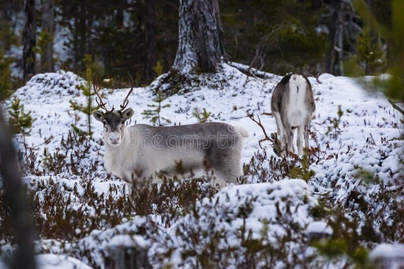 Reindeer / Rangifer tarandus in winter forest royalty free stock image