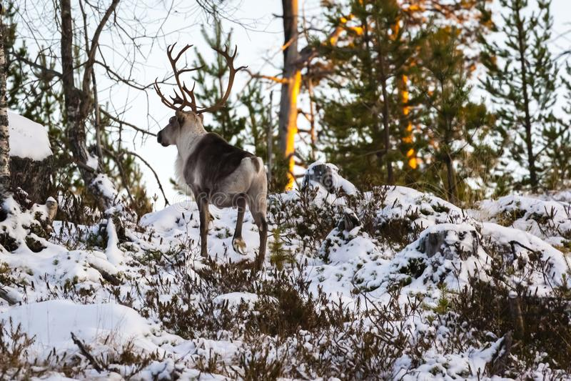 Reindeer / Rangifer tarandus in winter forest royalty free stock images