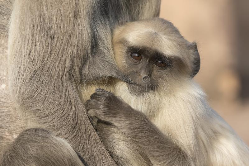 Download Grown Up Cub Of A Gray Langur Who Drinks Milk From The Breast Of Stock Image - Image of mother, nourished: 110628087