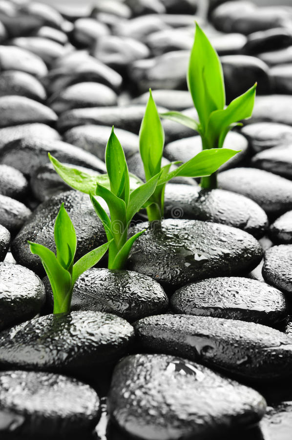 Growth. Zen basalt stones and bamboo with dew stock photos