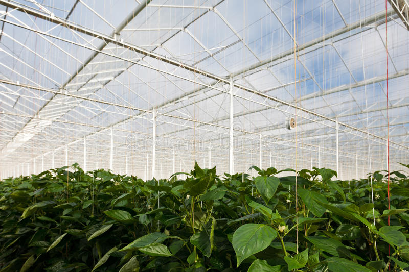 Download Growth Of Bell Pepper Plants Inside A Greenhouse Stock Photos - Image: 25388213
