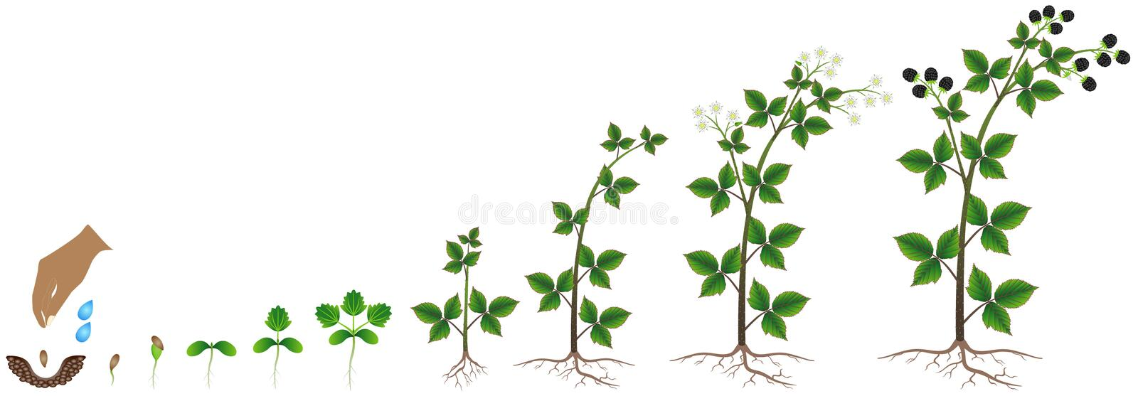 The growth cycle of blackberry seed on a white background. The growth cycle of blackberry seed on a white background, beautiful illustration royalty free illustration