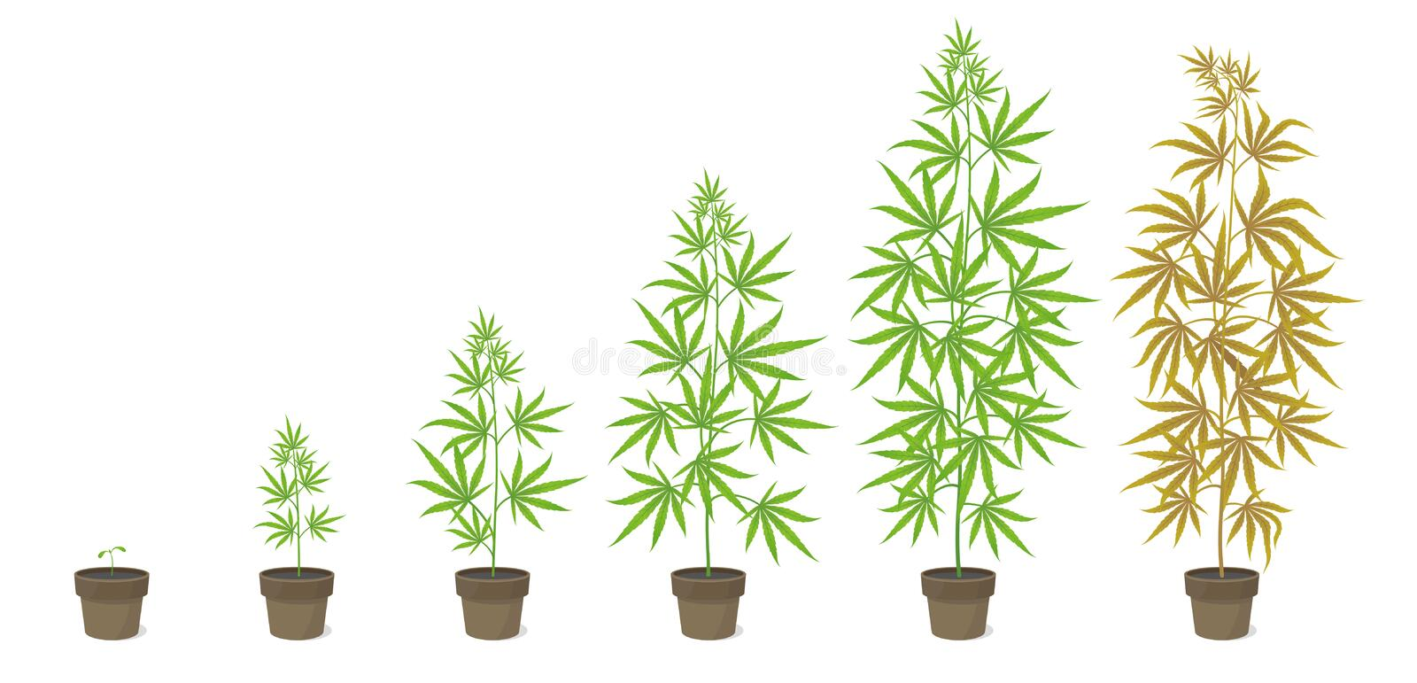 The Growth Cycle of Cannabis sativa potted plant. Marijuana phases set. Hemp ripening period. The life stages. Weed. Growing. Infographic vector illustration stock illustration