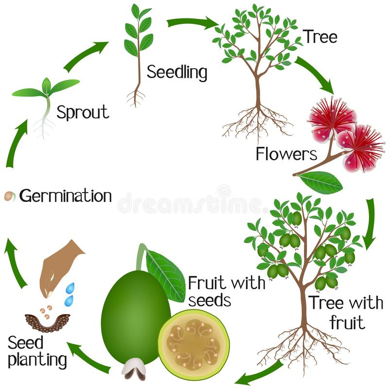 A growth cycle of a feijoa tree on a white background. royalty free illustration