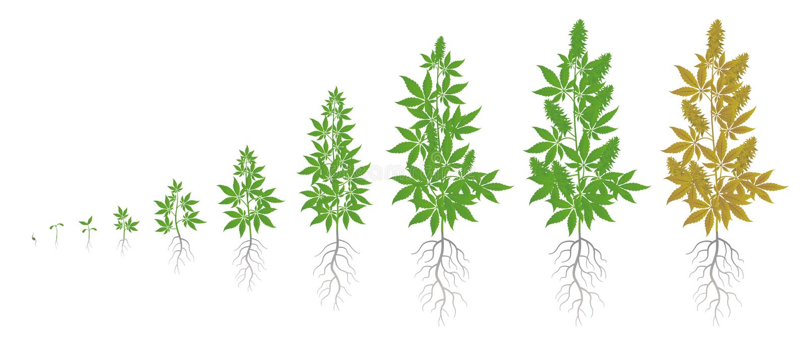 The Growth Cycle of hemp plant. Marijuana phases set. Cannabis indica ripening period. The life stages. Weed Growing. Isolated infographic vector illustration royalty free illustration