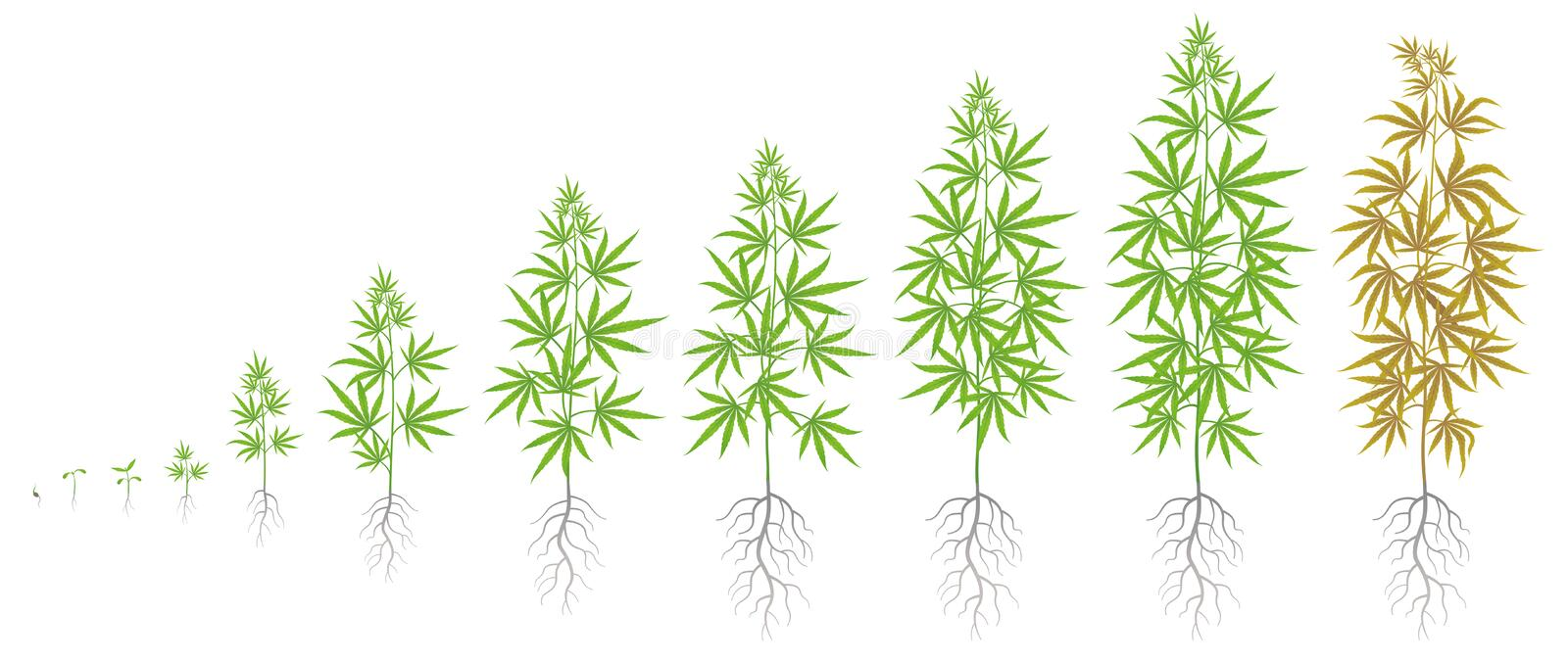 The Growth Cycle of hemp plant. Marijuana phases set. Cannabis sativa ripening period. The life stages. Weed Growing. Isolated infographic vector illustration stock illustration