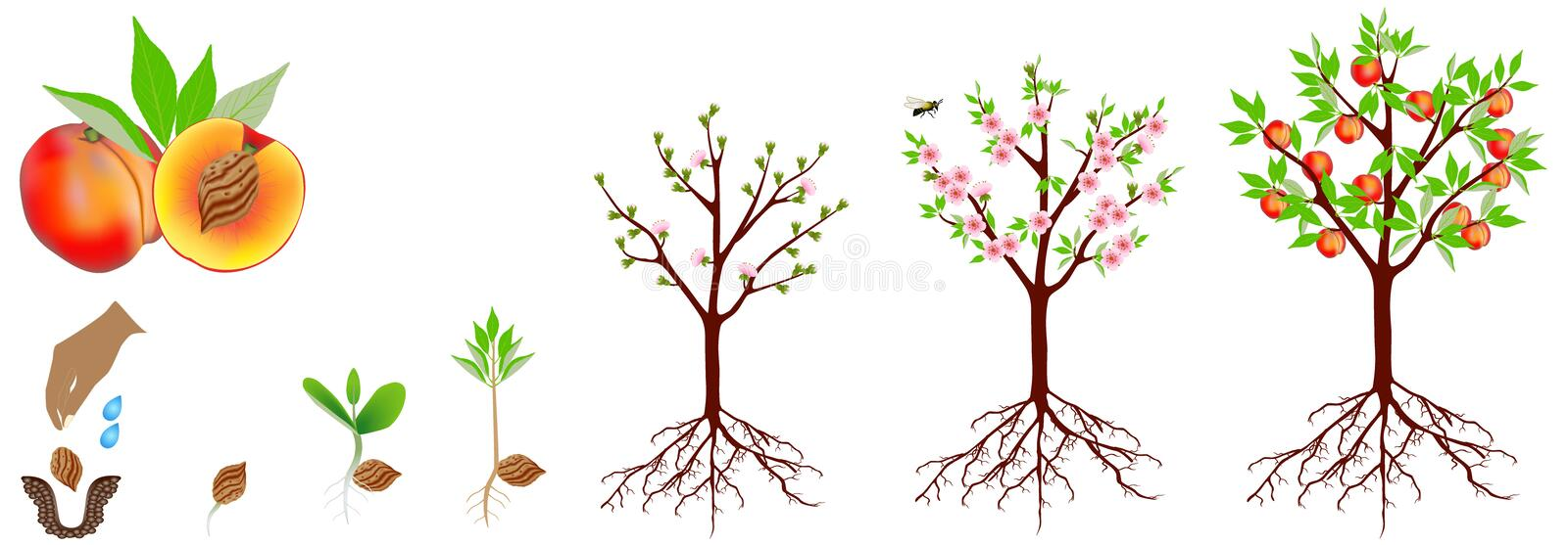 A growth cycle of a peach plant is isolated on a white background. stock image