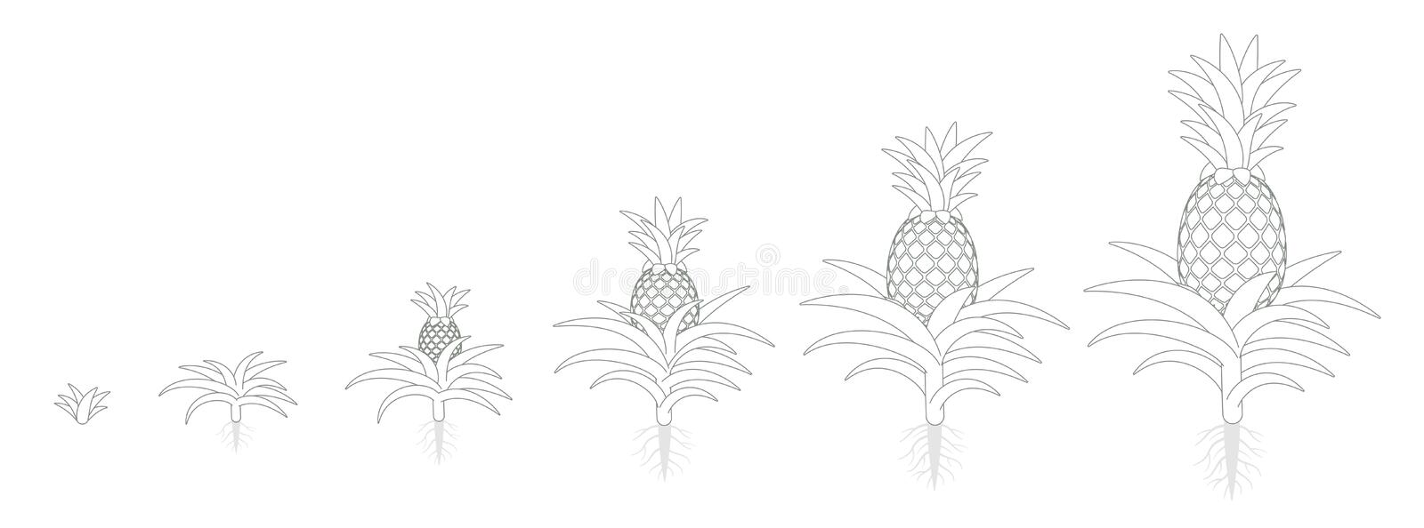 The Growth Cycle of pineapple. Tropical plant with an edible fruit. Ananas phases set. Ananas comosus ripening period. The life. The Growth Cycle of pineapple vector illustration