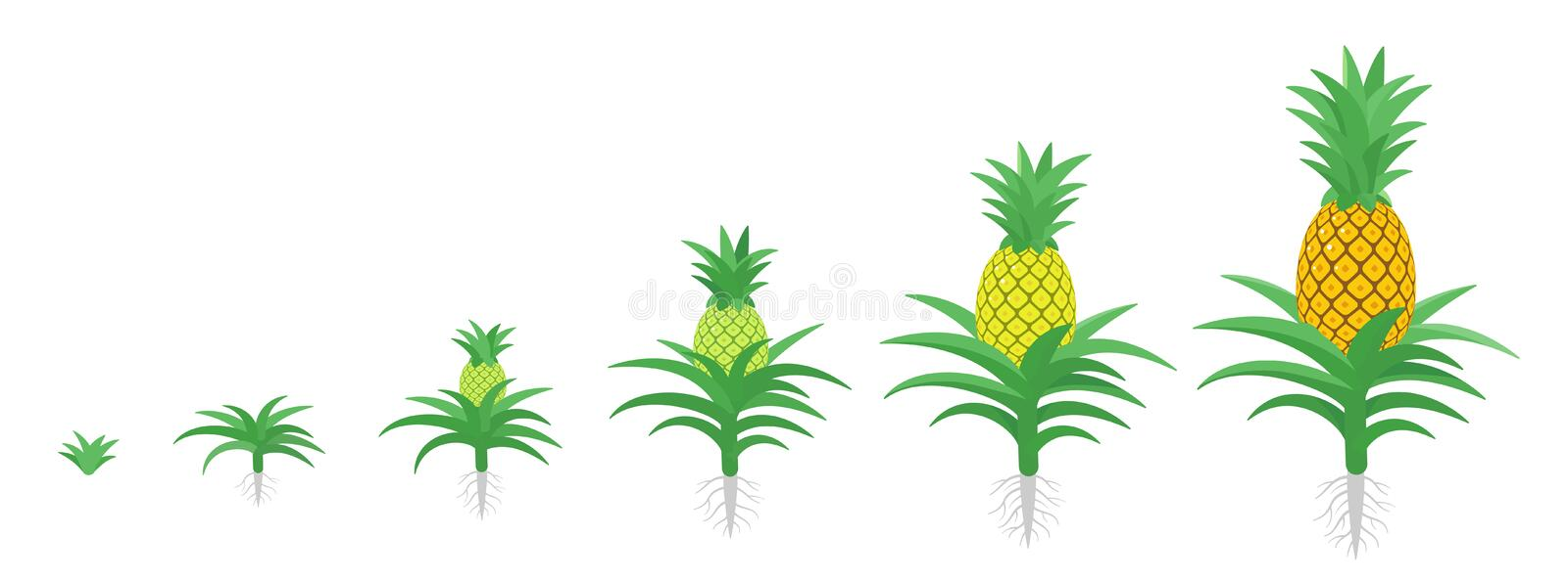 The Growth Cycle of pineapple. Tropical plant with an edible fruit. Ananas phases set. Ananas comosus ripening period. The life. The Growth Cycle of pineapple royalty free illustration