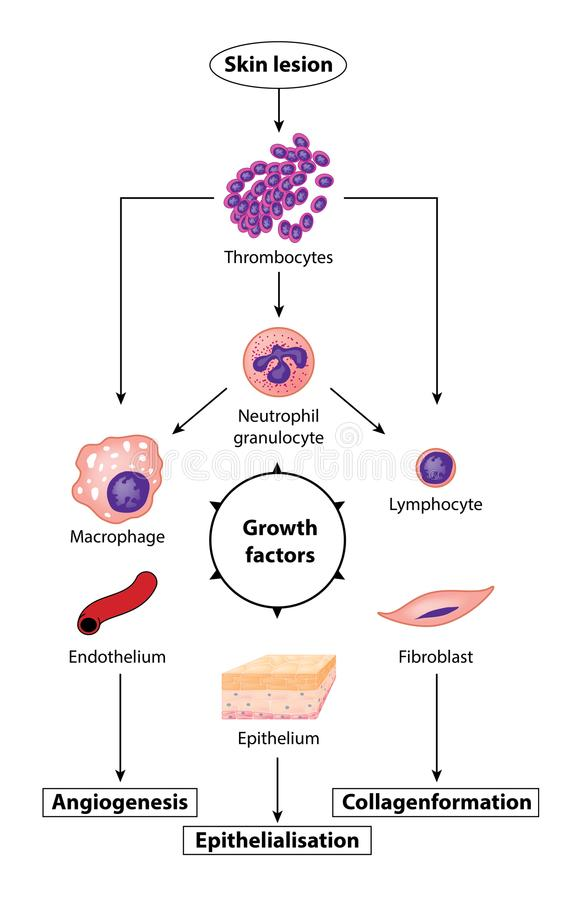 Growth factors in tissue growth royalty free illustration