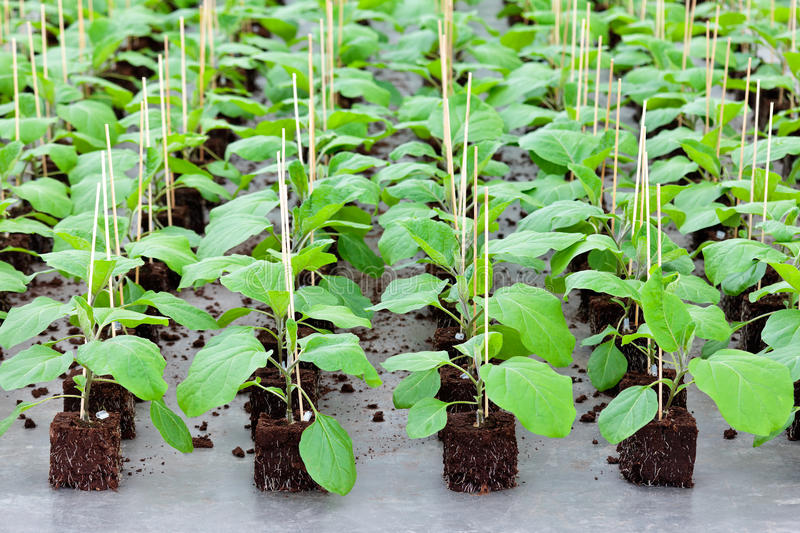 Download Growth Of Gardening Plants Inside A Greenhouse Stock Photos - Image: 25677263