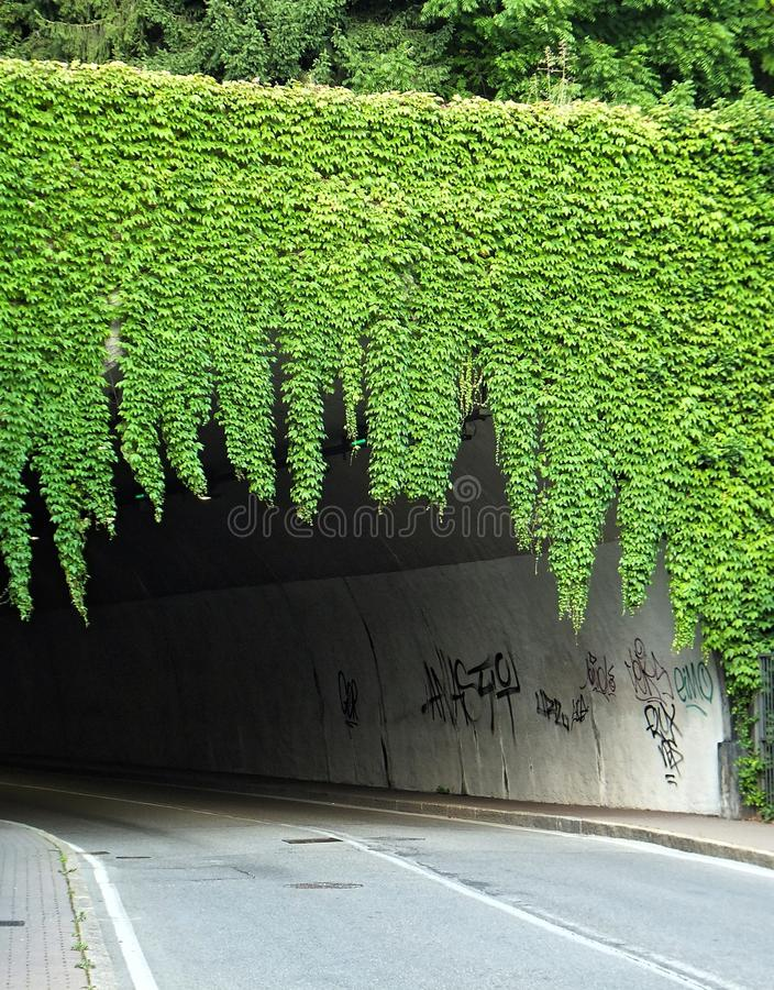 A growth of green ivy, overhanging a road tunnel like a curtain royalty free stock photo
