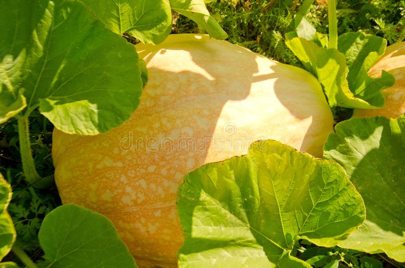 The growth of a huge pumpkin in the garden. Selective focus royalty free stock photos