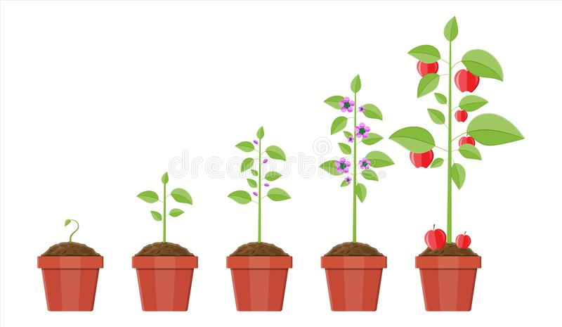 Growth of plant in pot, from sprout to fruit. Planting tree. Seedling gardening plant. Timeline. Vector illustration in flat style royalty free illustration