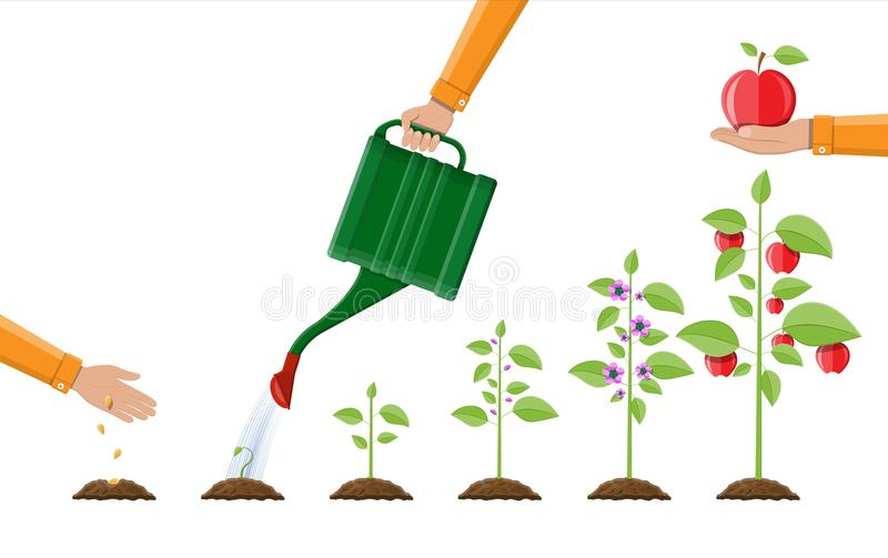 Growth of plant, from sprout to fruit. Planting tree. Seedling gardening plant. Timeline. Vector illustration in flat style vector illustration