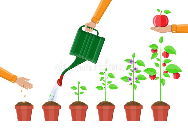 Growth of plant, from sprout to fruit. Planting tree. Seedling gardening plant. Timeline. Vector illustration in flat style stock illustration