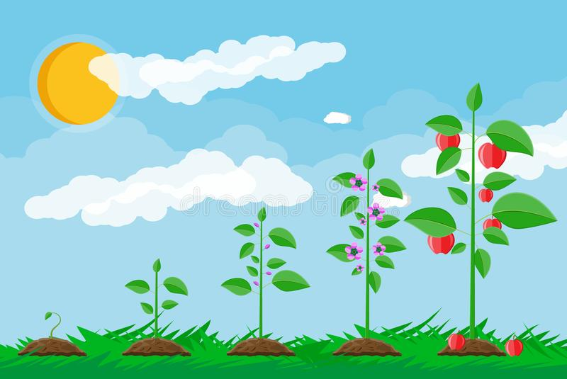 Growth of plant, from sprout to fruit. Planting tree. Seedling gardening plant. Timeline. Grass, sky with clouds and sun. Flat style vector illustration stock illustration