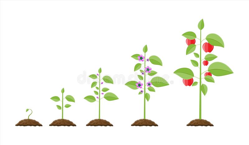 Growth of plant, from sprout to fruit. Planting tree. Seedling gardening plant. Timeline. Vector illustration in flat style royalty free illustration