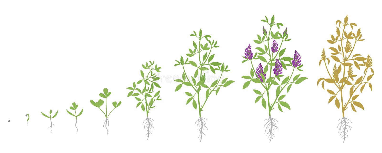 Growth stages of Alfalfa plant. Vector flat illustration. Medicago sativa. Lucerne grown life cycle. Important forage crop used for grazing, hay and silage, as stock illustration