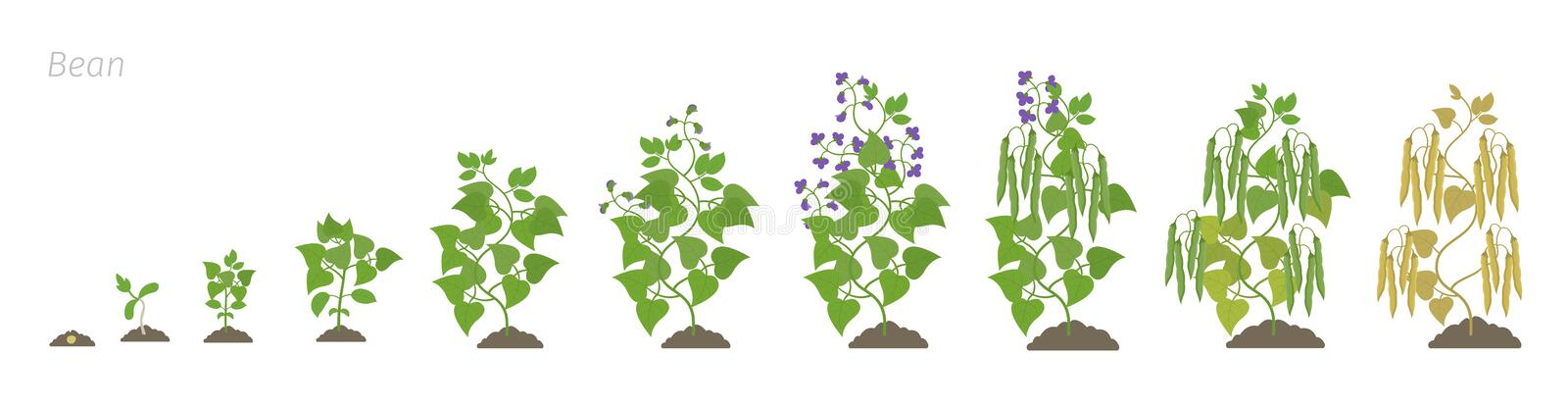 Growth stages of bean plant. Bean family Fabaceae phases set ripening period. Life cycle, animation progression. Growth stages of bean plant. Bean family vector illustration