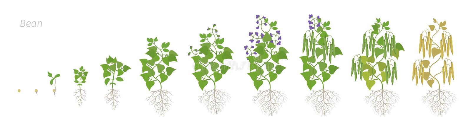 Growth stages of bean plant with roots. Bean family Fabaceae phases set ripening period. Life cycle, animation. Growth stages of bean plant with roots. Bean stock illustration