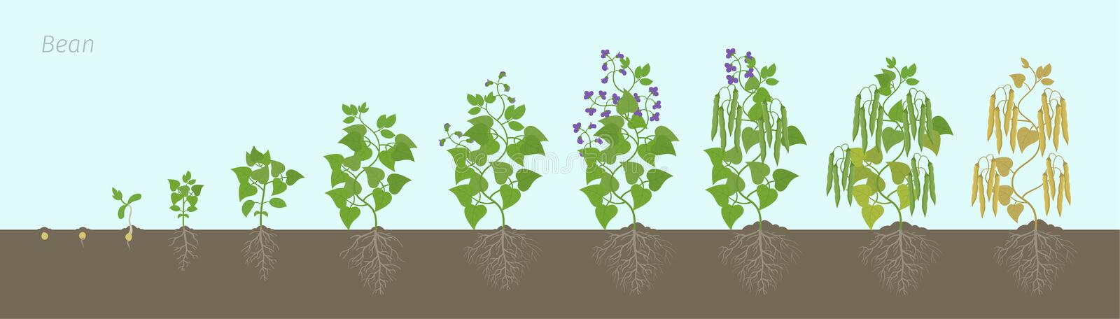Growth stages of bean plant with roots In the soil. Bean family Fabaceae phases set ripening period. Life cycle, animation. Growth stages of bean plant with stock illustration