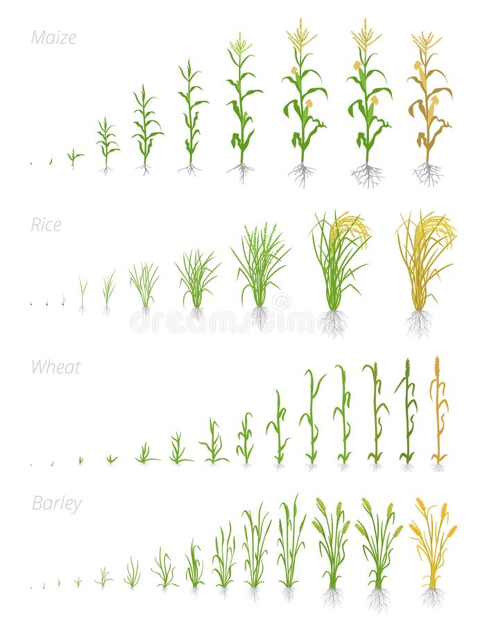 Growth stages of grain cereal agricultural crops. Cereal increase phases. Vector illustration. Secale cereale. Ripening period. Grain life cycle. On white vector illustration