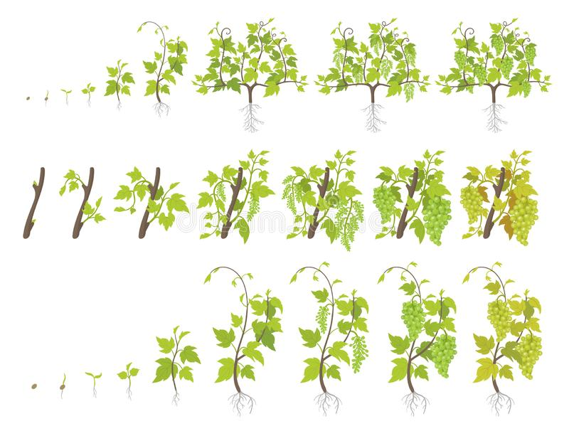 Growth stages of grape plant. Vineyard planting increase phases. Vector illustration. Vitis vinifera harvested. Ripening period. Growth stages of grape plant royalty free illustration