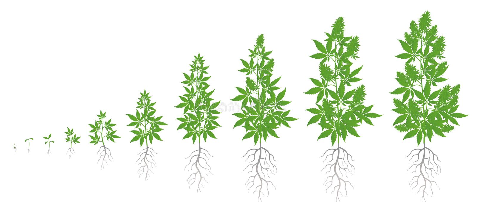 Growth stages of hemp plant. Marijuana phases set. Cannabis indica ripening period. The life cycle. Weed Growing royalty free illustration