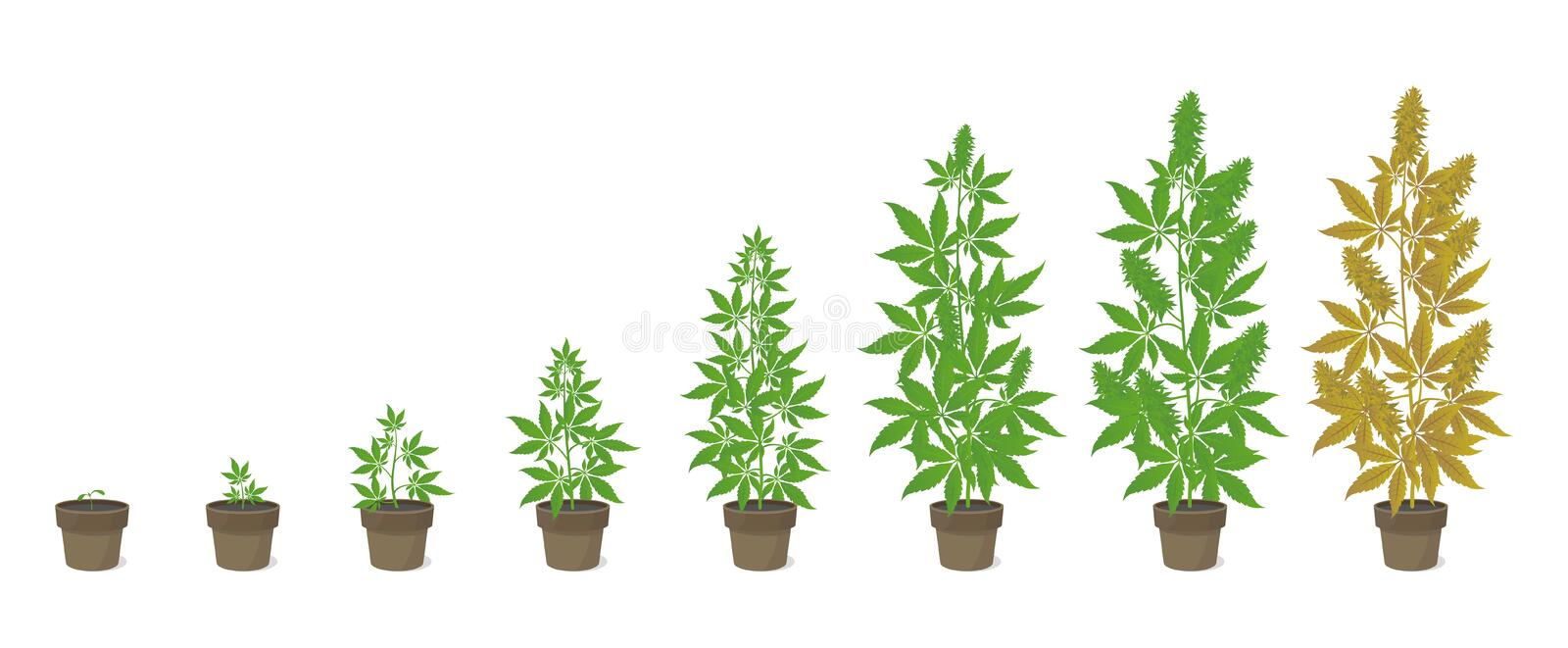 Growth stages of hemp potted plant. Marijuana phases set. Cannabis indica ripening period. The life cycle. Weed Growing. Isolated infographic vector stock illustration