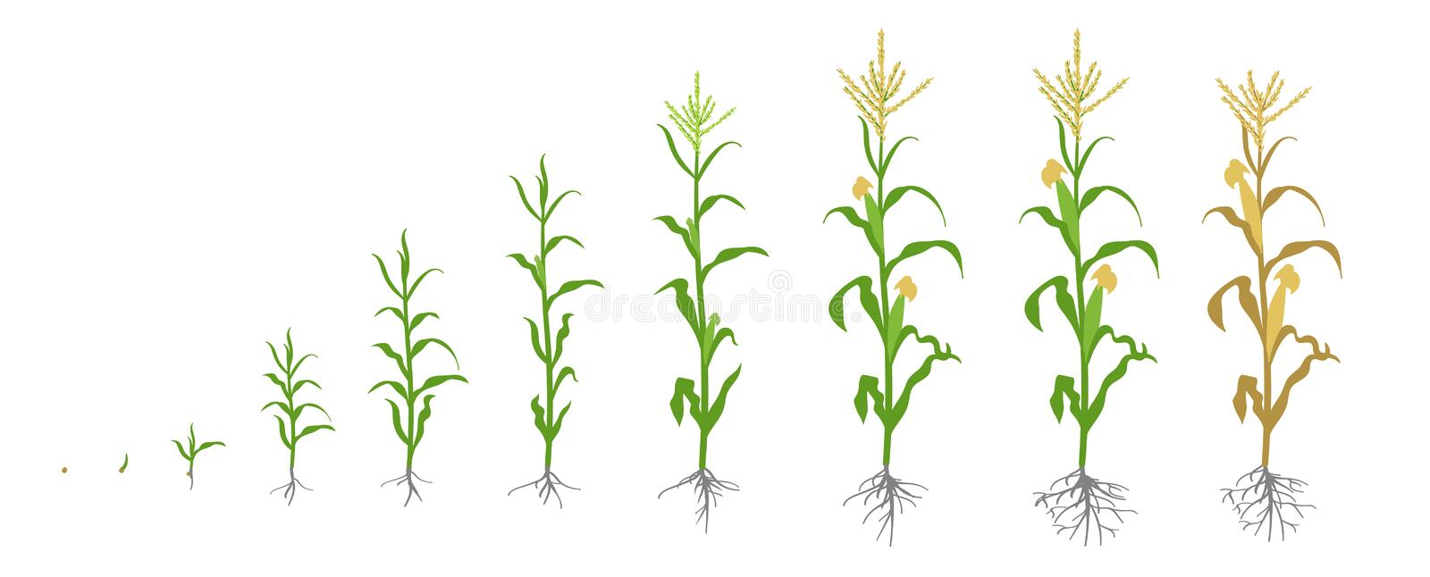 Growth stages of Maize plant. Corn phases. Vector illustration. Zea mays. Ripening period. The life cycle. Use stock illustration