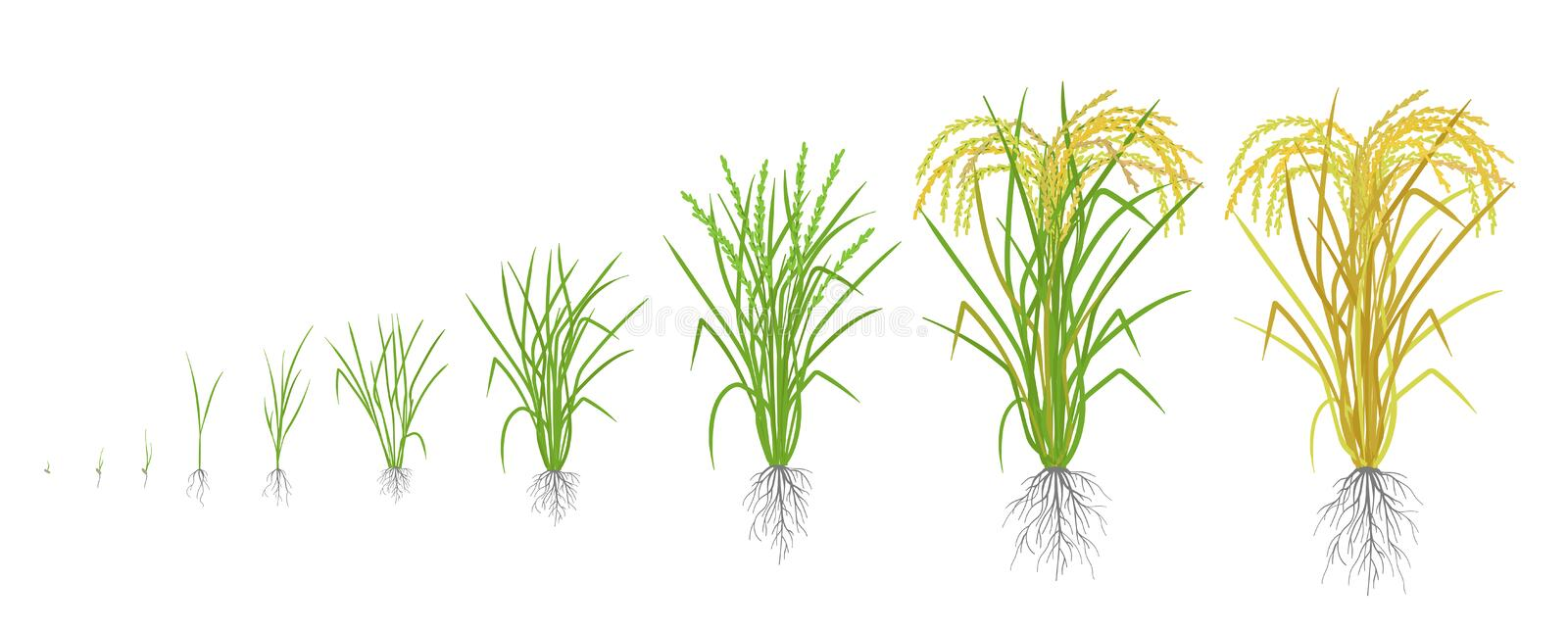 Growth stages of rice plant. Rice increase phases. Vector illustration. Oryza sativa. Ripening period. The life cycle. Use fertilizers. On white background. It royalty free illustration