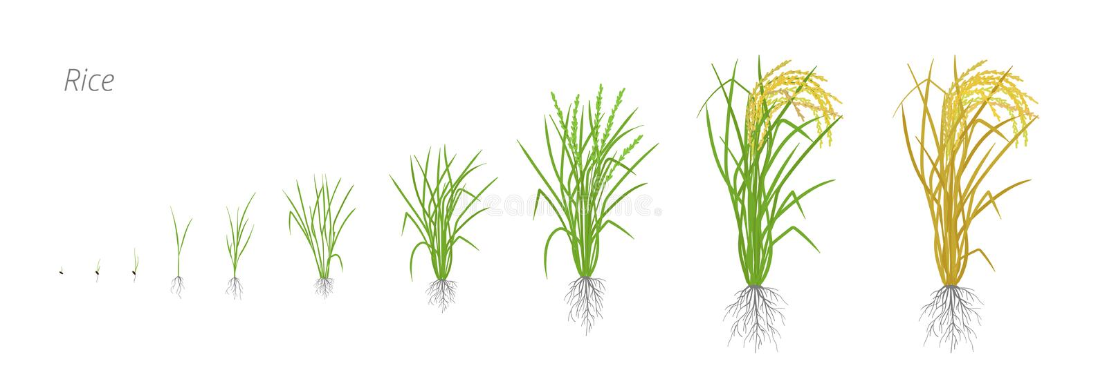 Growth stages of rice plant. The life cycle. Rice increase phases. Oryza sativa. Ripening period. Vector illustration. Growth stages of rice plant. Rice vector illustration