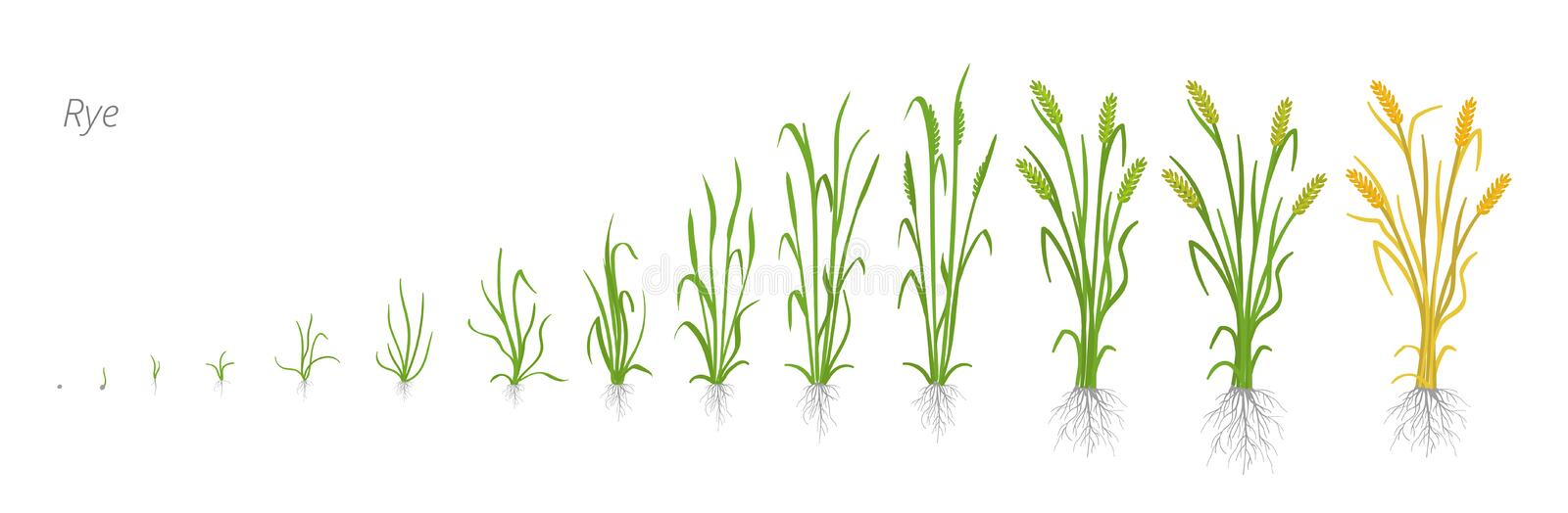 Growth stages of Rye plant. Cereal increase phases. Vector illustration. Secale cereale. Ripening period. Rye grain life. Cycle. On white background. It is the stock illustration