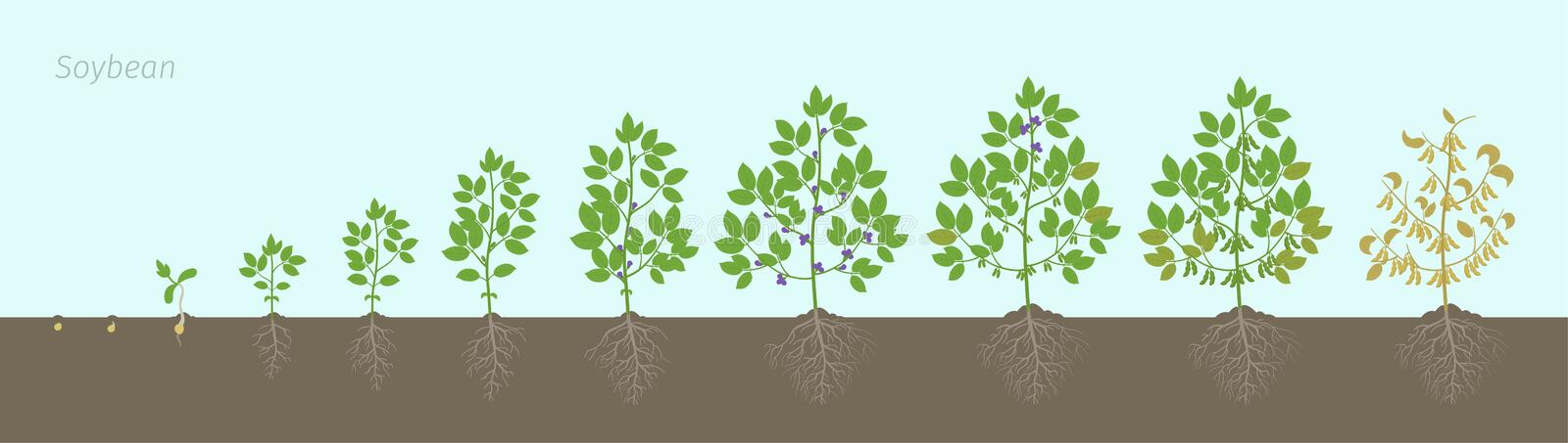 Growth stages of Soybean plant with roots In the soil. Soya bean phases set ripening period. Glycine max life cycle, animation. Growth stages of Soybean plant stock illustration