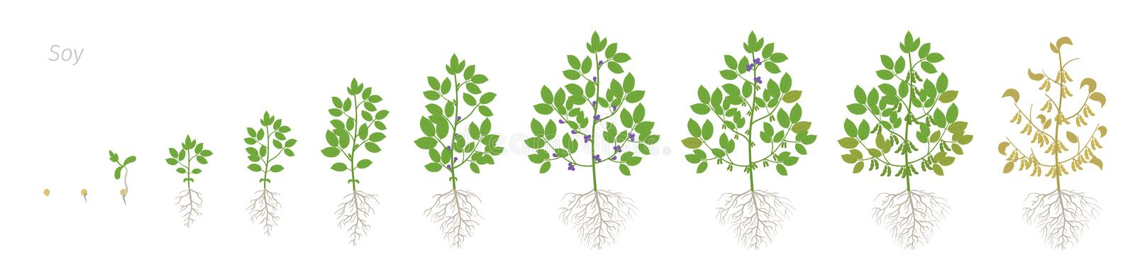 Growth stages of Soybean plant with roots. Soya bean phases set ripening period. Glycine max life cycle, animation. Growth stages of Soybean plant with roots royalty free illustration