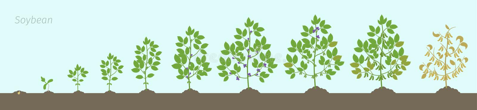 Growth stages of Soybean plant. Soya bean phases set ripening period. Glycine max life cycle, animation progression In the soil. Growth stages of Soybean plant vector illustration